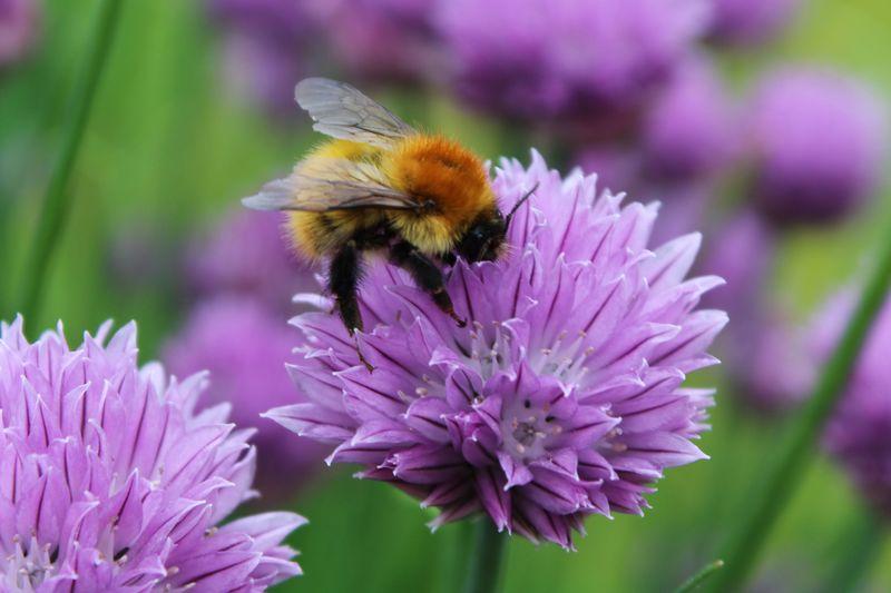 Garden_Bee_flower