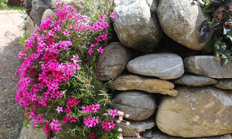 Alpine_phlox_woolmill_garden