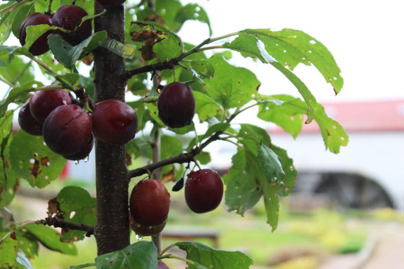 Plum_tree_garden