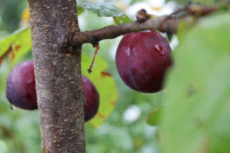 Plums_tree_garden_